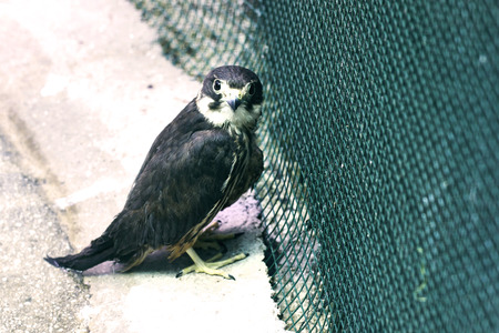 falconidae: Close up of a Peregrine Falcon in a zoo