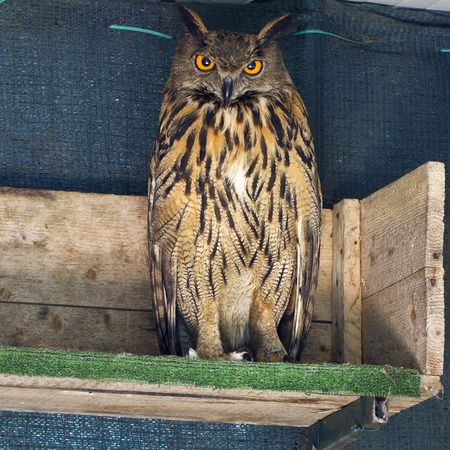 View of the Egle Owl in captivity photo
