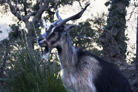 billygoat: Goat walking on a country road in Sicily