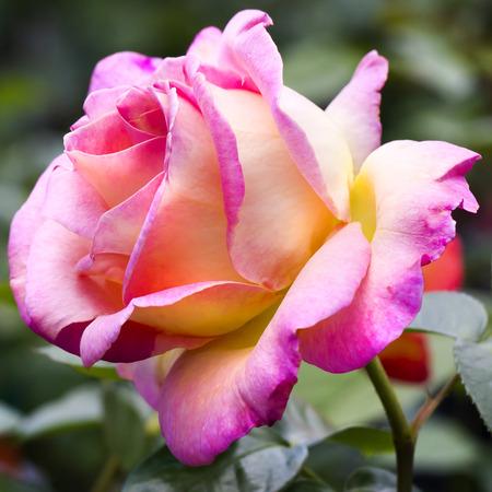 rosas amarillas: Hermosa rosa, macro Foto de archivo