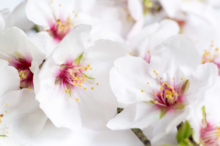 ranching: Almond blossoms on a white background