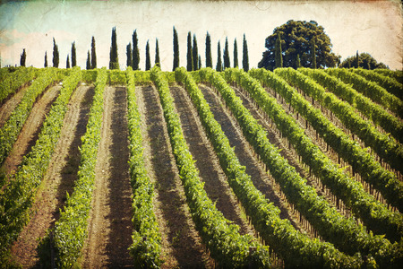montalcino: Vineyards of Montalcino (Siena, Tuscany, Italy) at summer Stock Photo