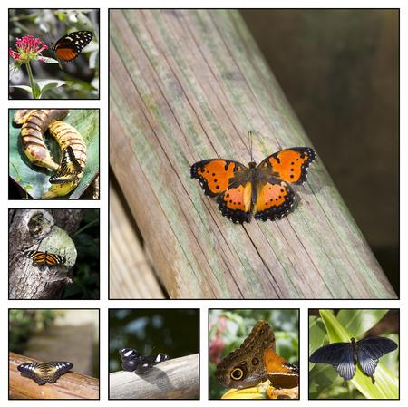eyespot: Collage. Close-up of a colorful and beautiful butterfly