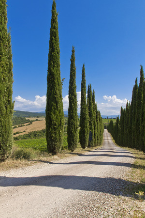 montalcino: Cypress Trees rows and a white road rural landscape in Montalcino land near Siena, Tuscany, Italy, Europe. Stock Photo