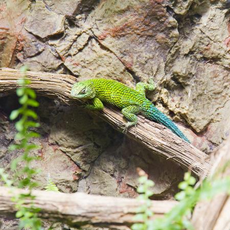 A beautiful image of an earless agamid lizard green photo