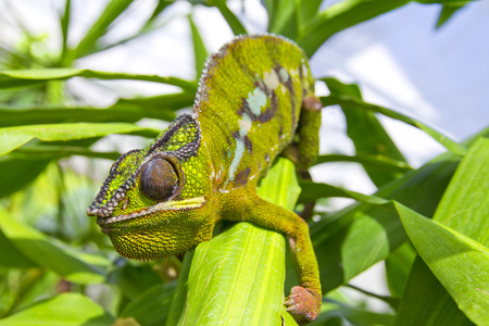 arboreal: Closeup of a chameleon among the leaves of a tree Stock Photo