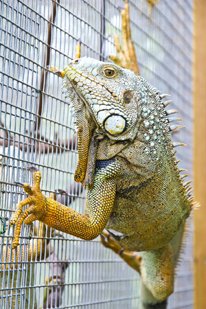 saurian: Close up of iguana climbing on the wall Stock Photo