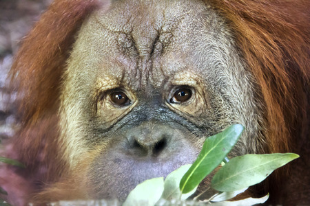 hominid: Reading thoughts look of an orangutan male. Wild beauty of a human-like monkey. Expressive face of a great ape Stock Photo