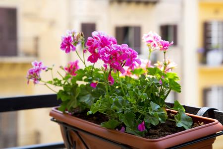 Close up of a pink geranium on a balcony
