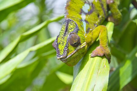 Closeup of a chameleon among the leaves of a tree Reklamní fotografie