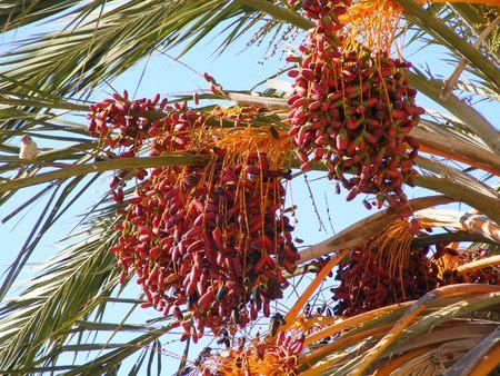 dactylifera:  Dates - Phoenix dactylifera
