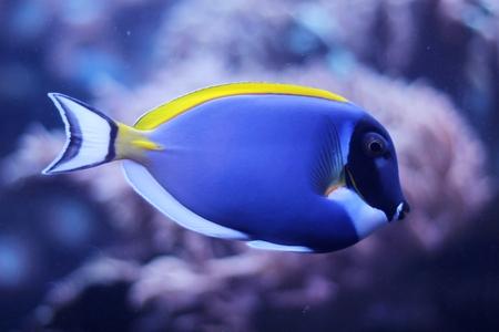 tang:  Acanthurus leucosternon - powder blue tang - tropical fish
