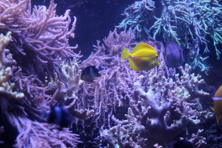 sailfin: coral reef and Lemon Sailfin Stock Photo