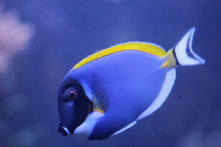 blue fish: Acanthurus leucosternon - powder blue tang - tropical fish Stock Photo