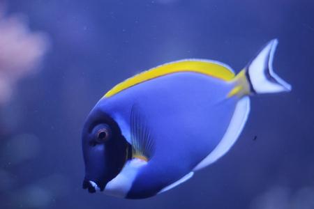 yellow tang: Acanthurus leucosternon - powder blue tang - tropical fish Stock Photo