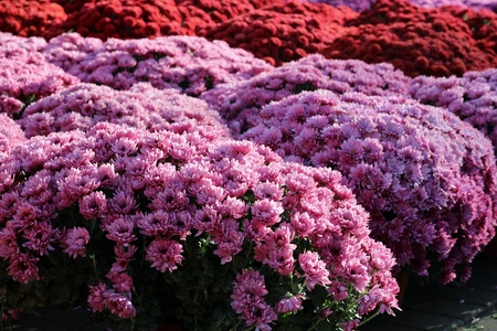 palmy: chrysanthemums