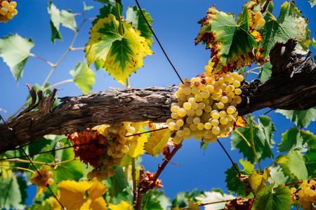 tasty ripe white grapes on the background of blue sky 写真素材