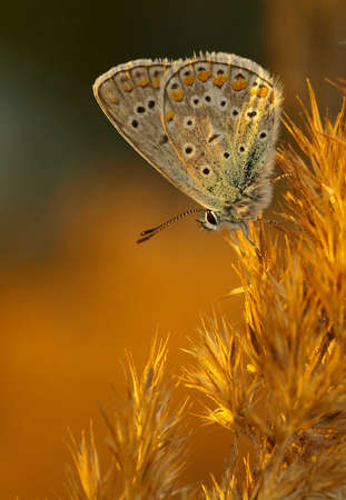 polyommatus: Common Blue (Polyommatus icarus) in evening light Stock Photo