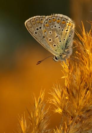 polyommatus icarus: Common Blue (Polyommatus icarus) in evening light Stock Photo