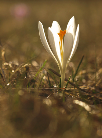 White spring flower with green leaves and stem and sun reflections in the meadow. Blooming crocus in a home garden.
