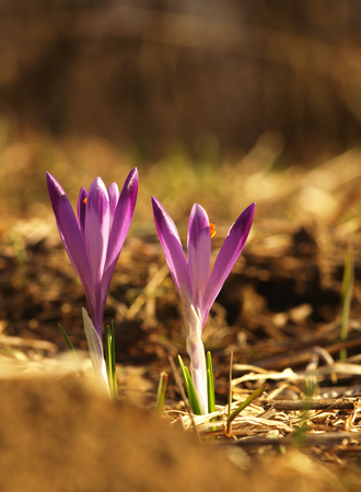 Purple spring flower with green leaves and stem and sun reflections in the meadow. Blooming crocus in a home garden. Reklamní fotografie