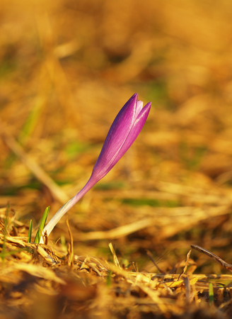 Purple spring flower with green leaves and stem and sun reflections in the meadow. Blooming crocus in a home garden. 写真素材