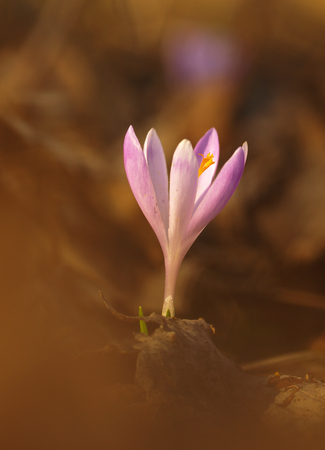 Purple spring flower with green leaves and white stem and sun reflections in the meadow. Blooming crocus in grass a home garden.