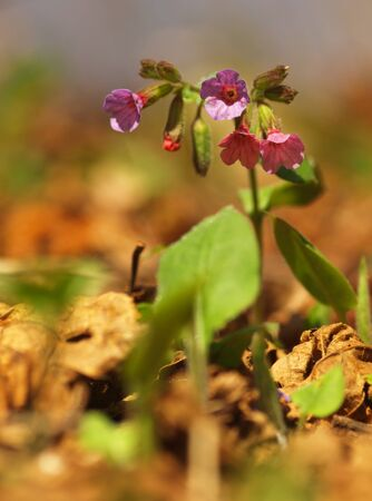 Pulmonaria officinalis, common lungwort, Marys tears or Our Ladys milk drops. Purple flower of medical plant in grass on meadow near forest with green leaves and stem at sunset