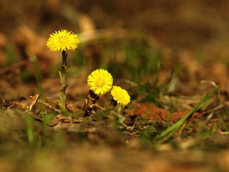 Yellow flower coltsfoot herbaceous perennial of medical plant in grass on meadow near forest with green leaves and stem at sunset. Blooming spring flower Tussilago farfara on garden Banco de Imagens