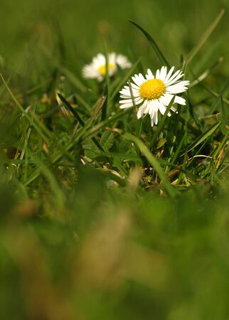 White flower common daisy herbaceous perennial of medical plant in grass on meadow near forest with green leaves and stem at sunset. Blooming spring flower Bellis perennis on garden