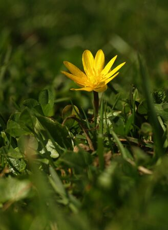 Yellow flower Lesser celandine herbaceous perennial of medical plant in grass on meadow near forest with green leaves and stem at sunset. Blooming spring flower Ficaria verna on garden Stockfoto