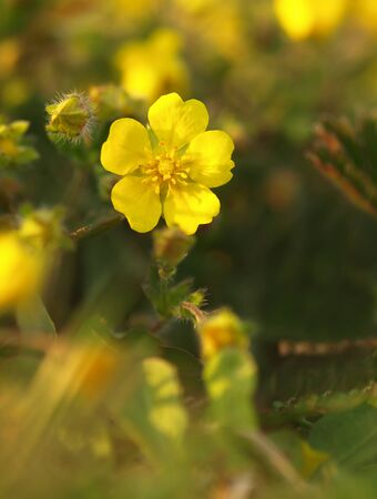 Yellow flower Creeping Cinquefoil herbaceous perennial of medical plant in grass on meadow near forest with green leaves and stem at sunset. Blooming spring flower Potentilla reptans on garden Banco de Imagens