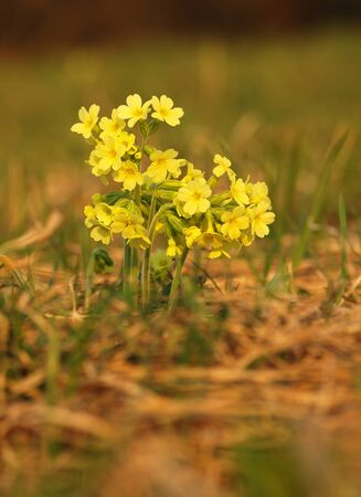 Yellow flower cowslip herbaceous perennial of medical plant in grass on meadow near forest with green leaves and stem at sunset. Blooming spring flower Primula veris on garden Banco de Imagens