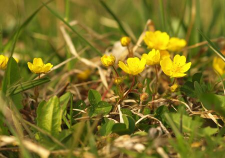 Yellow flower Creeping Cinquefoil herbaceous perennial of medical plant in grass on meadow near forest with green leaves and stem at sunset. Blooming spring flower Potentilla reptans on garden 版權商用圖片