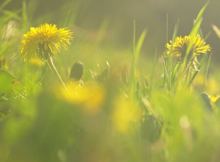 Yellow flower of medical plant in grass on meadow near forest with green leaves and stem at sunset. Blooming dandelion flower on garden Banco de Imagens