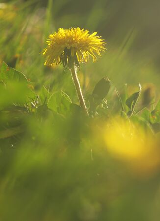 Yellow flower of medical plant in grass on meadow near forest with green leaves and stem at sunset. Blooming dandelion flower on garden Stockfoto