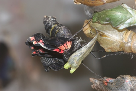 morphing: Butterfly Hatching