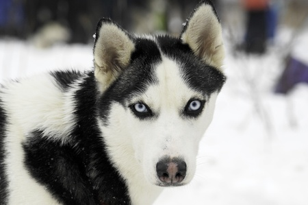 The Siberian Husky. It is a medium-size dog, dense-coat working dog breed that originated in eastern Siberia Stock Photo - 8879044
