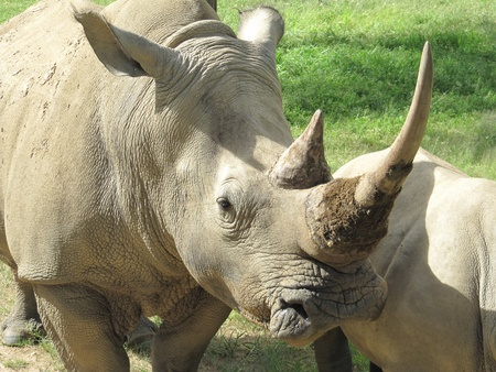 African Black Rhino Profile with two horns photo