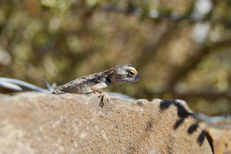desert lizard: Desert lizard stellion can change color like chameleon
