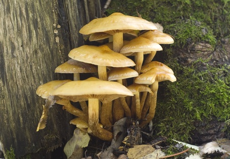 Sulphur Tuft (Hypholoma fasciculare) on a stump Stock Photo