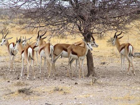 Black headed impala. Native habitant of african continent photo