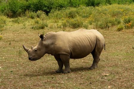 herbivore natural: Rhino on midday rest in Africa desert