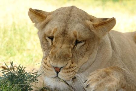 Sleepy female lion  photo
