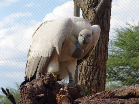 Griffon Vulture - Gyps fulvus in front Stock Photo