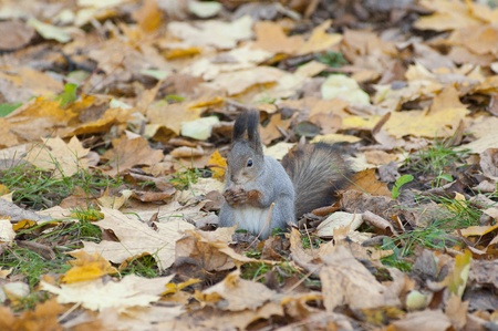 A squirrel eat a nut. Nature background