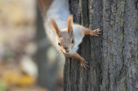 Red squirrel on a tree. Nature background photo