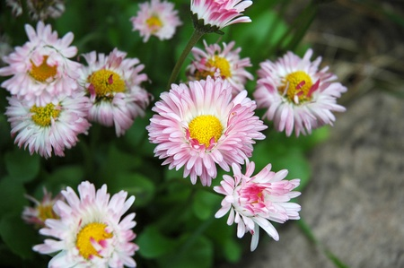 constituting: Chrysanthemums, often called mums or chrysanths, are of the genus or Chrysanthemum constituting approximately 30 species of perennial flowering plants in the family Asteraceae which is native to Asia and northeastern Europe Stock Photo