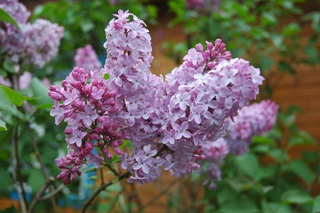 Syringa Lilac is a genus of about 20–25 species of flowering woody plants in the olive family Oleaceae, native to woodland and scrub from southeastern Europe to eastern Asia, and widely and commonly cultivated in temperate areas elsewhere Stock Photo
