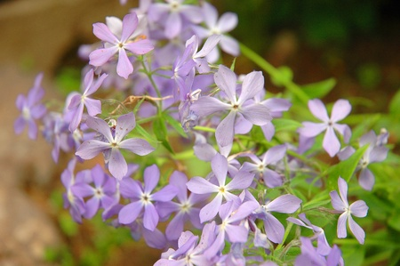 alpine tundra: Phlox is a genus of 67 species of perennial and annual plants found mostly in North America in diverse habitats from alpine tundra to open woodland and prairie. Stock Photo